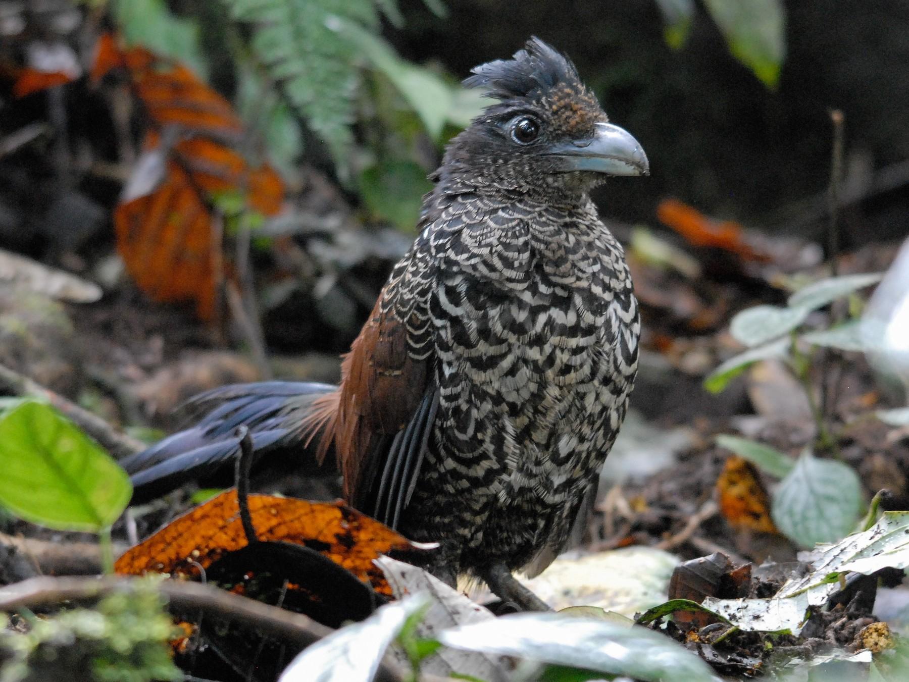 Banded Ground-Cuckoo - Markus Craig