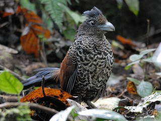 - Banded Ground-Cuckoo