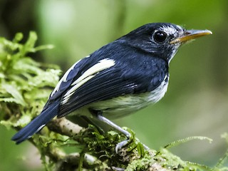 - Black-and-white Tody-Flycatcher