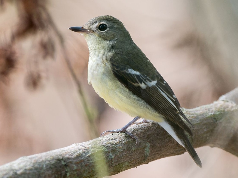 Yellow-rumped Flycatcher - Kai Pflug