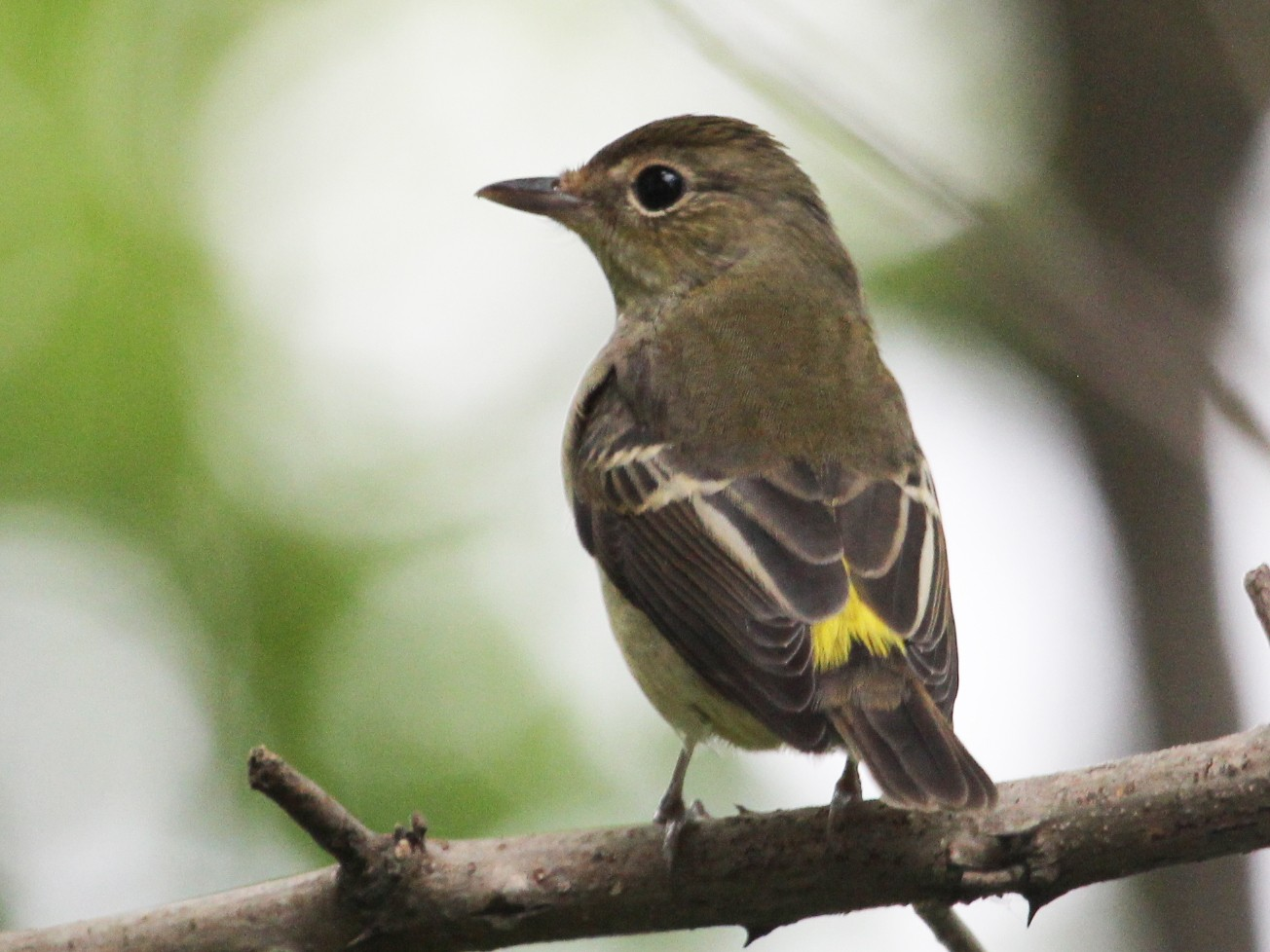 Yellow-rumped Flycatcher - Kevin Cheng
