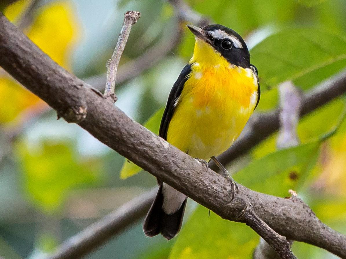 Yellow-rumped Flycatcher - Adrian Silas Tay