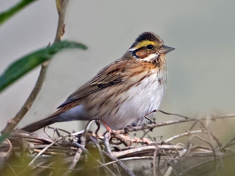 Yellow-browed Bunting - Andrew Wilson