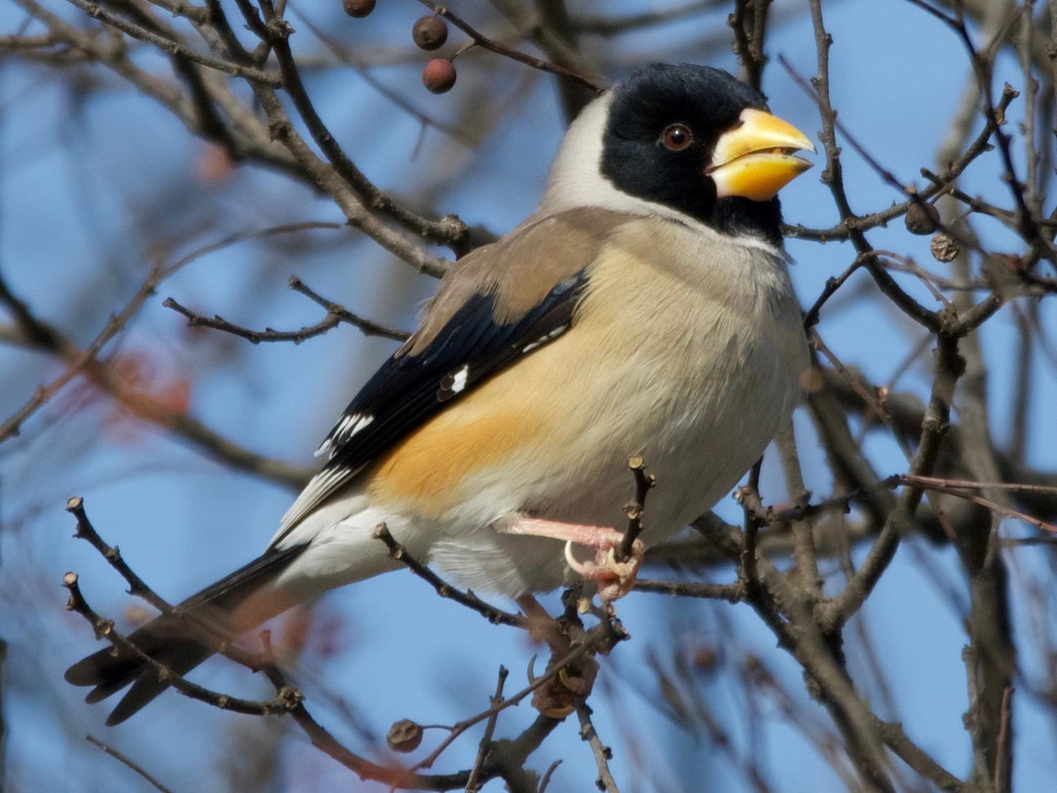Yellow-billed Grosbeak - Robert Cousins