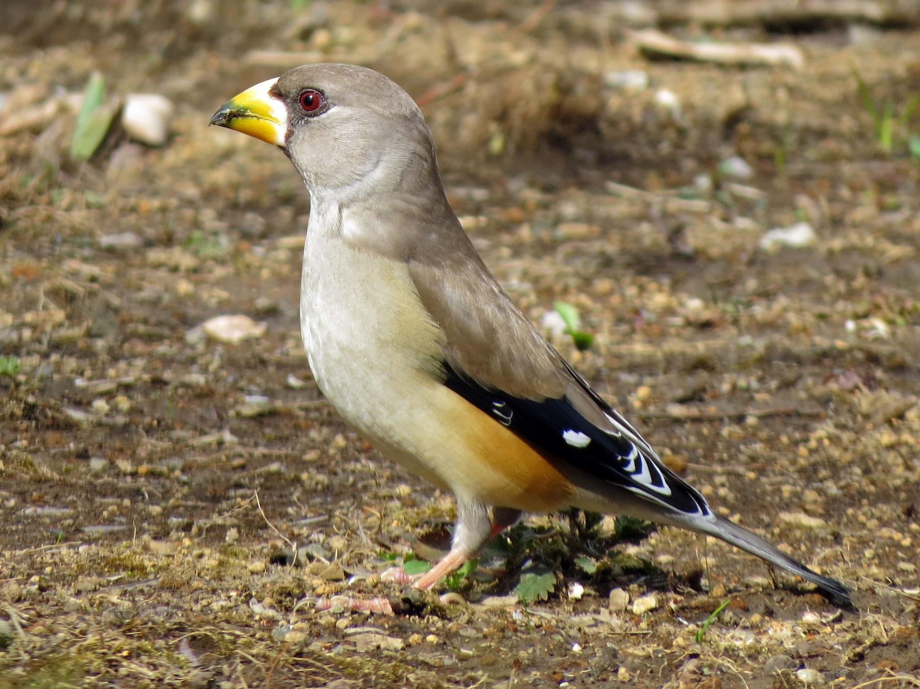 Yellow-billed Grosbeak - German Pugnali