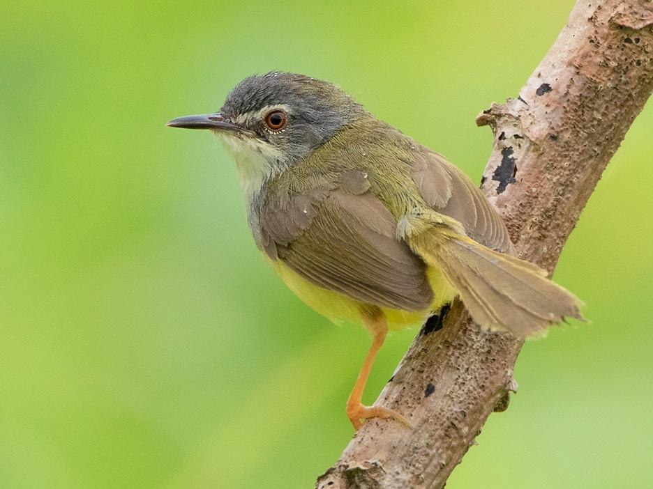 Yellow-bellied Prinia - Ayuwat Jearwattanakanok