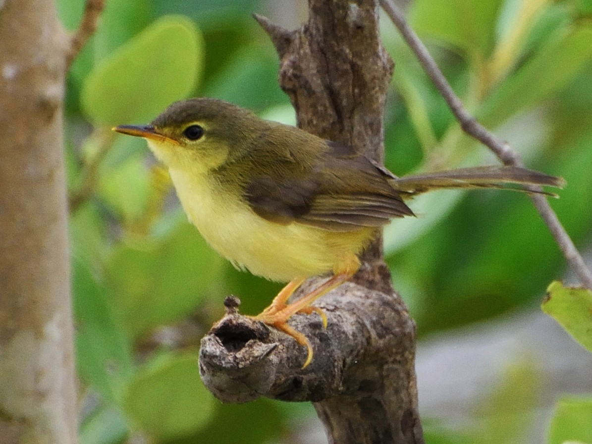 Yellow-bellied Prinia - samarendra Chowdhury