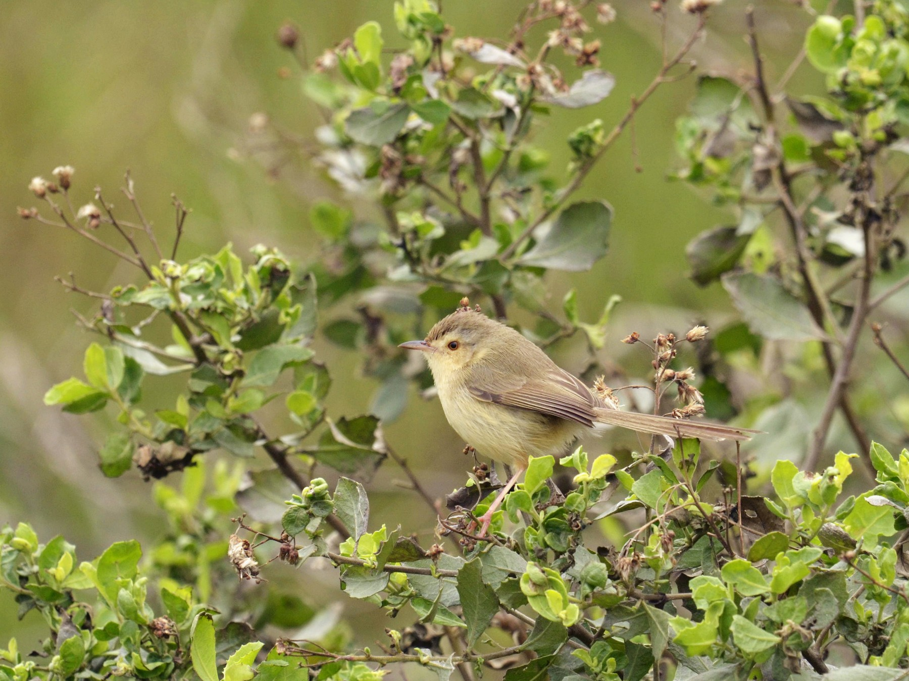 Yellow-bellied Prinia - 智偉(Chih-Wei) 張(Chang)