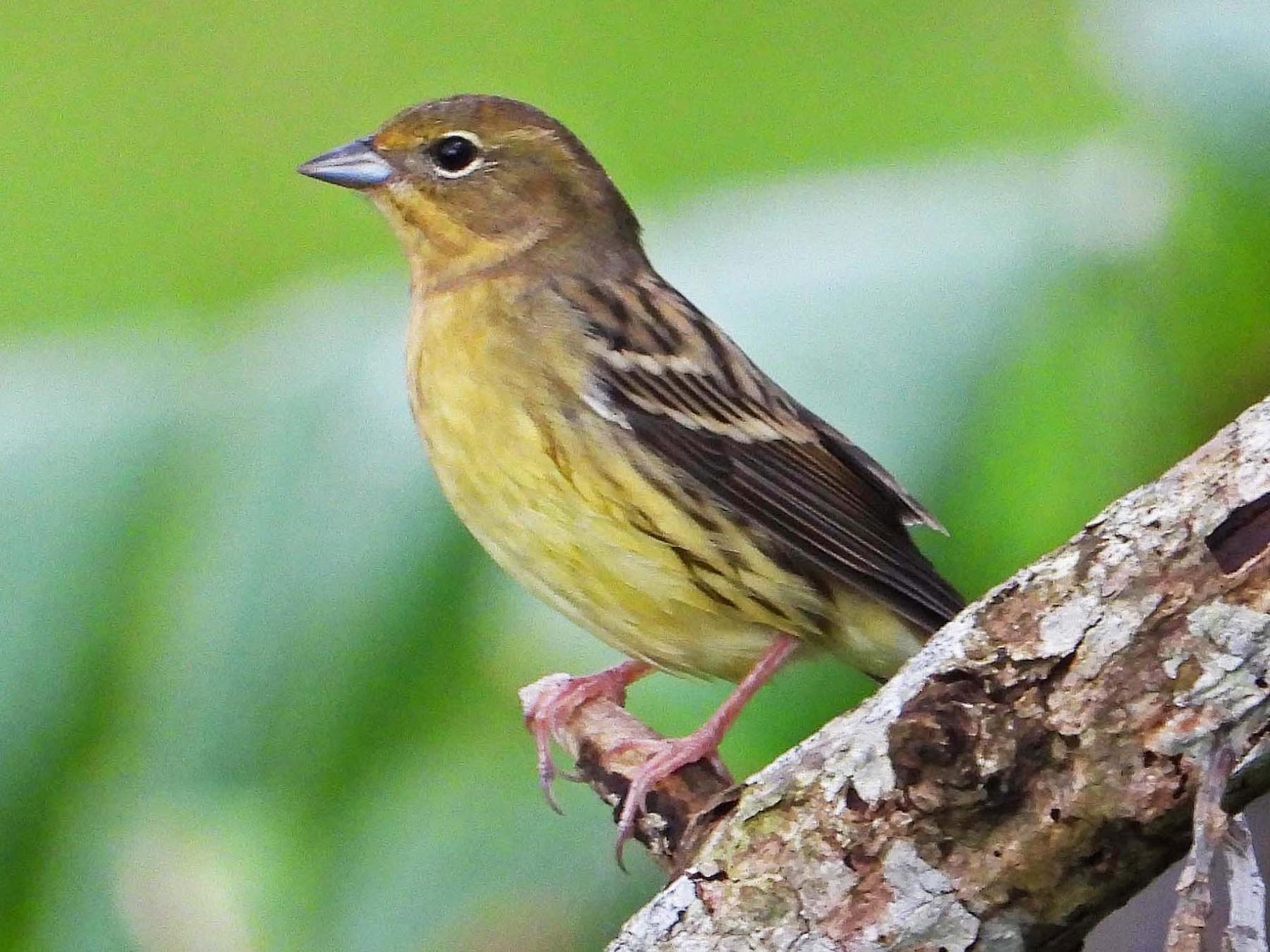Yellow Bunting - Jonet Carpio