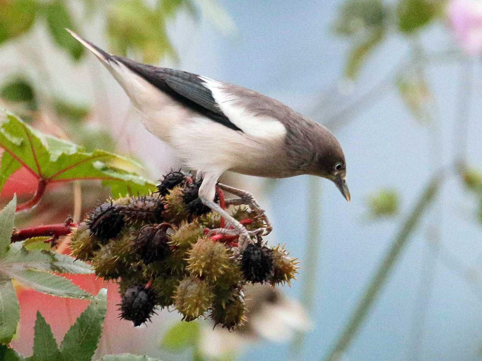 White-shouldered Starling - Neoh Hor Kee