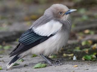 - White-shouldered Starling