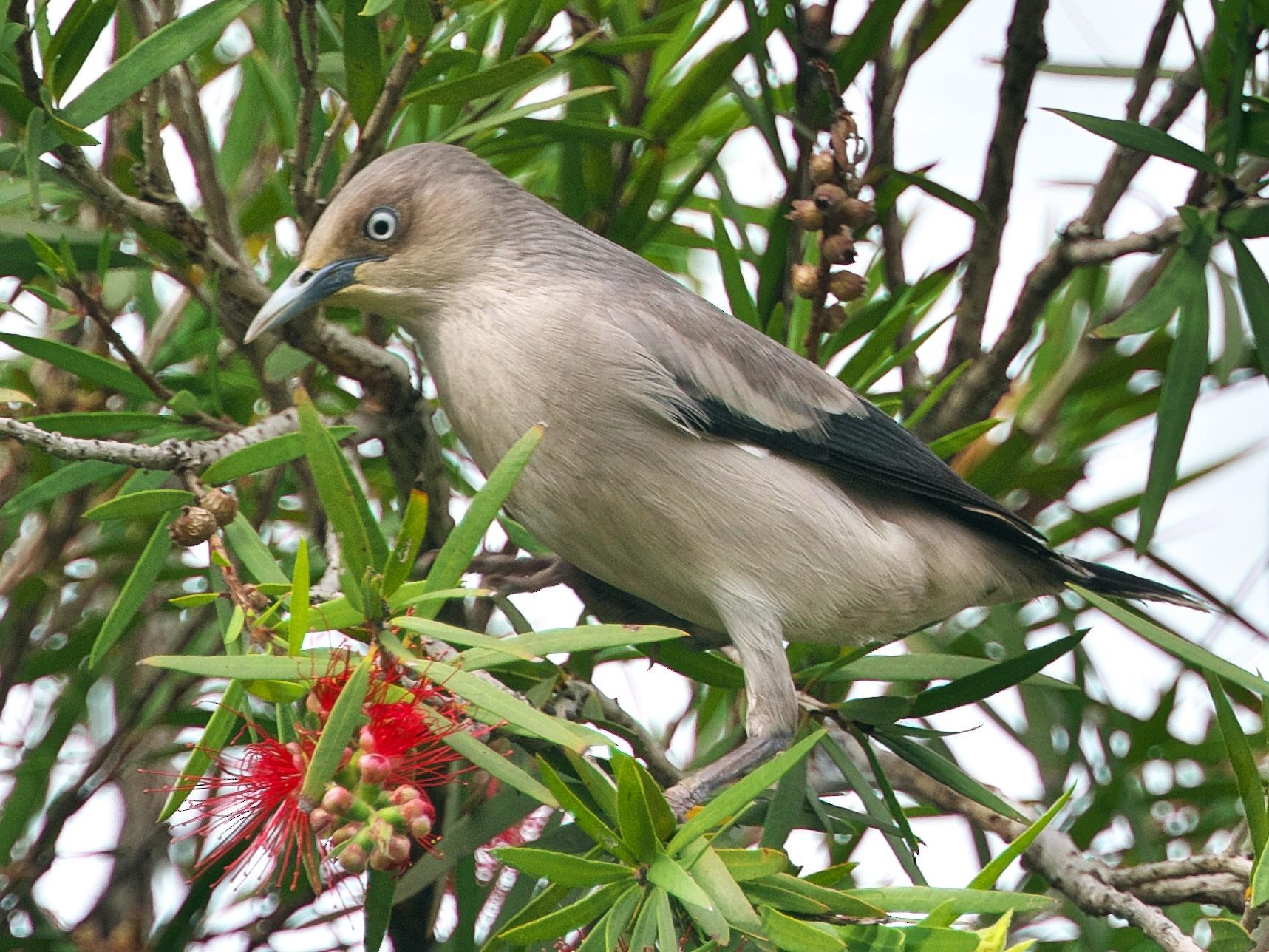 White-shouldered Starling - Pary  Sivaraman