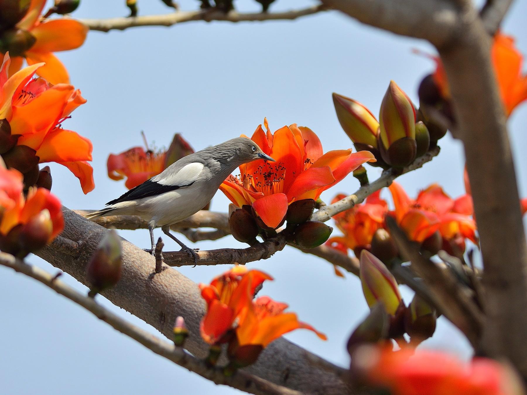 White-shouldered Starling - Wbird Tsai
