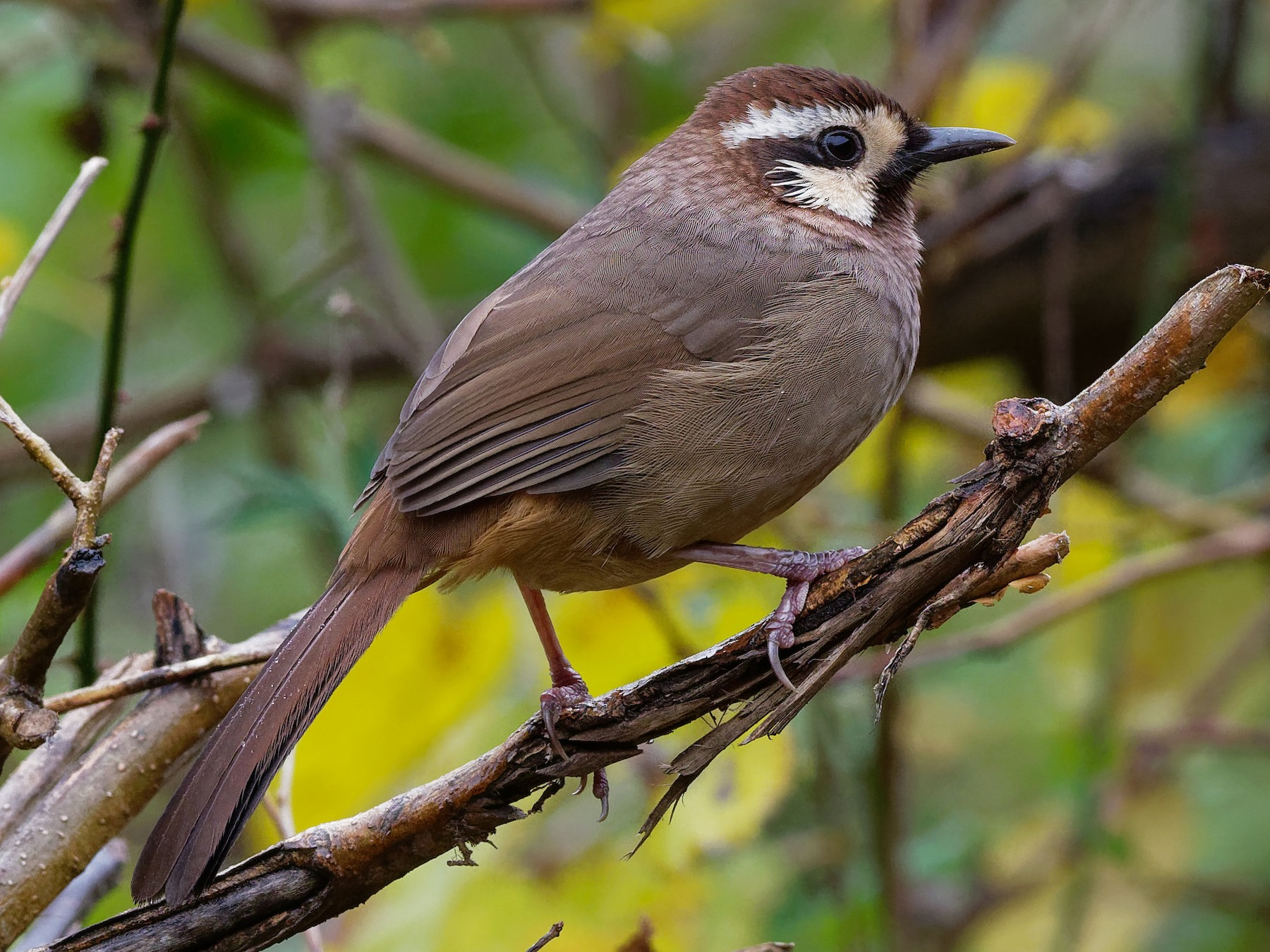 White-browed Laughingthrush - Vincent Wang