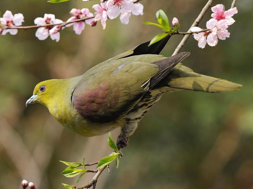 White-bellied Green-Pigeon - Cheng Qian