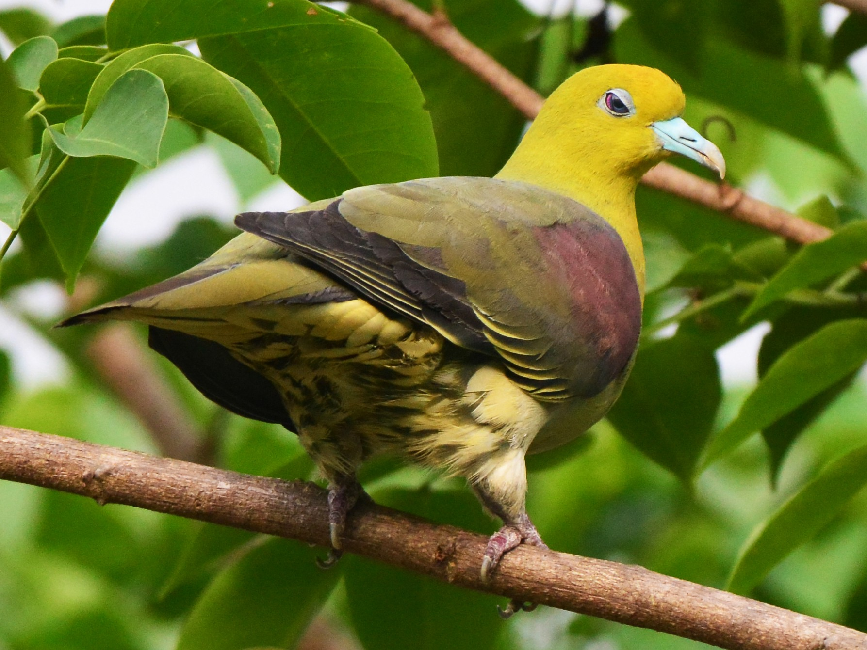 White-bellied Green-Pigeon - Jhih-Weit (志偉) TSAI (蔡)