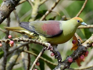 - Whistling Green-Pigeon (Taiwan)