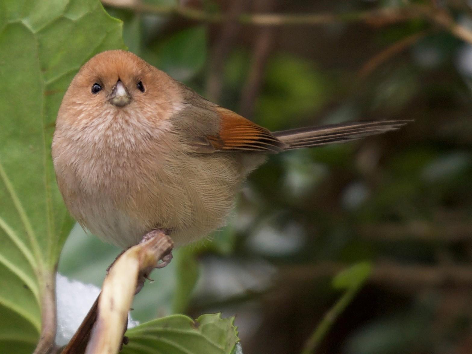Vinous-throated Parrotbill - Yasuhiko Komatsu