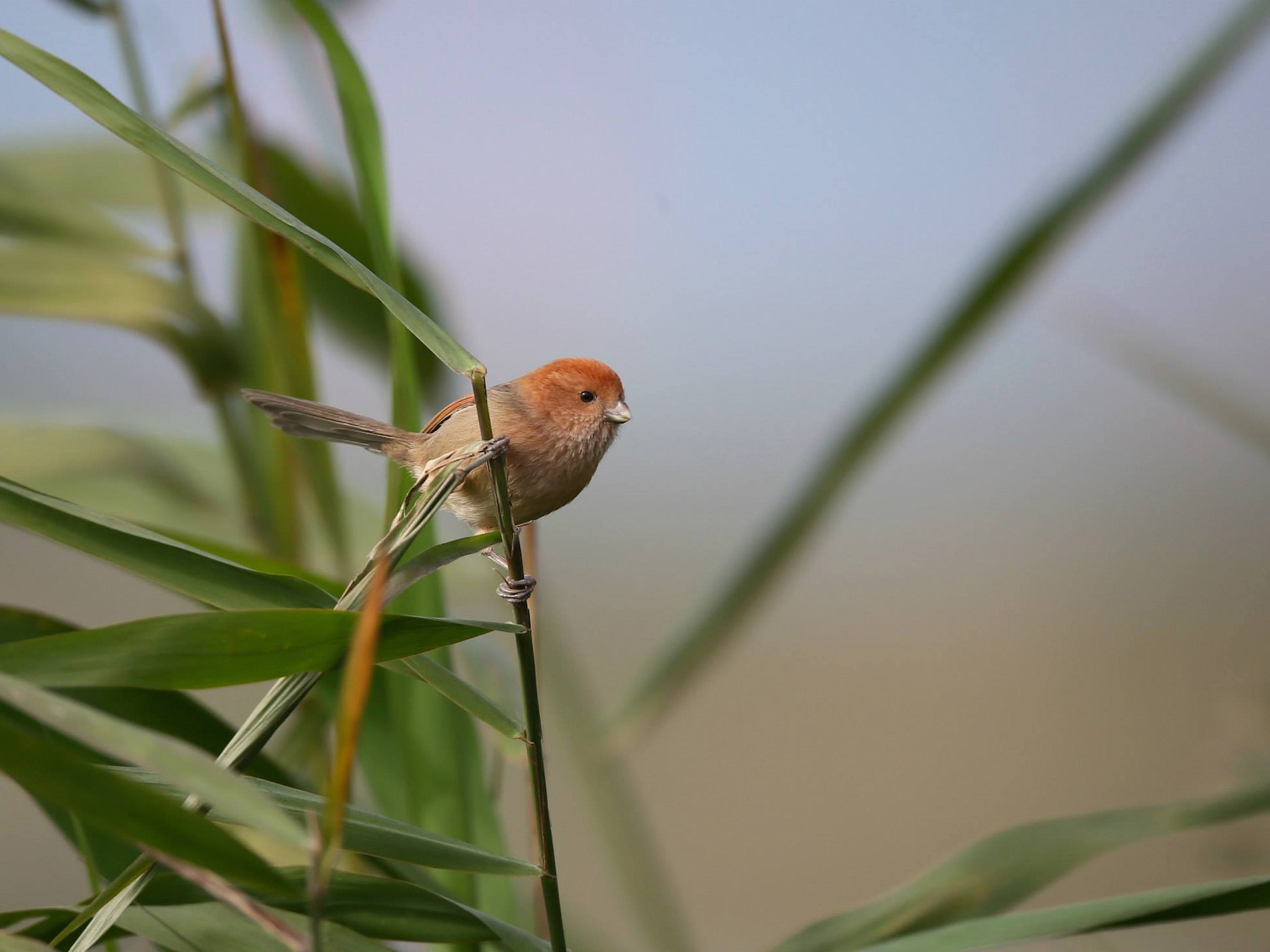Vinous-throated Parrotbill - Ting-Wei (廷維) HUNG (洪)
