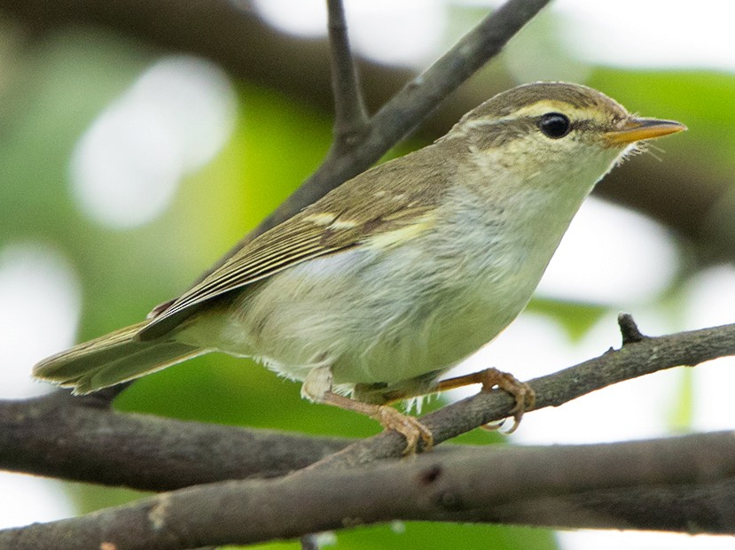 Two-barred Warbler - Ayuwat Jearwattanakanok