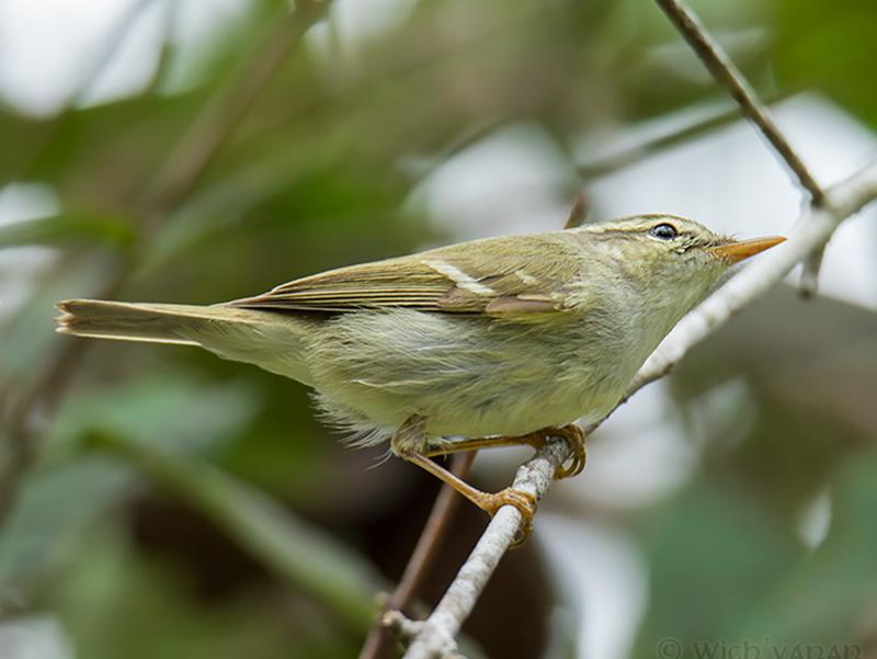 Two-barred Warbler - Wich'yanan (Jay) Limparungpatthanakij