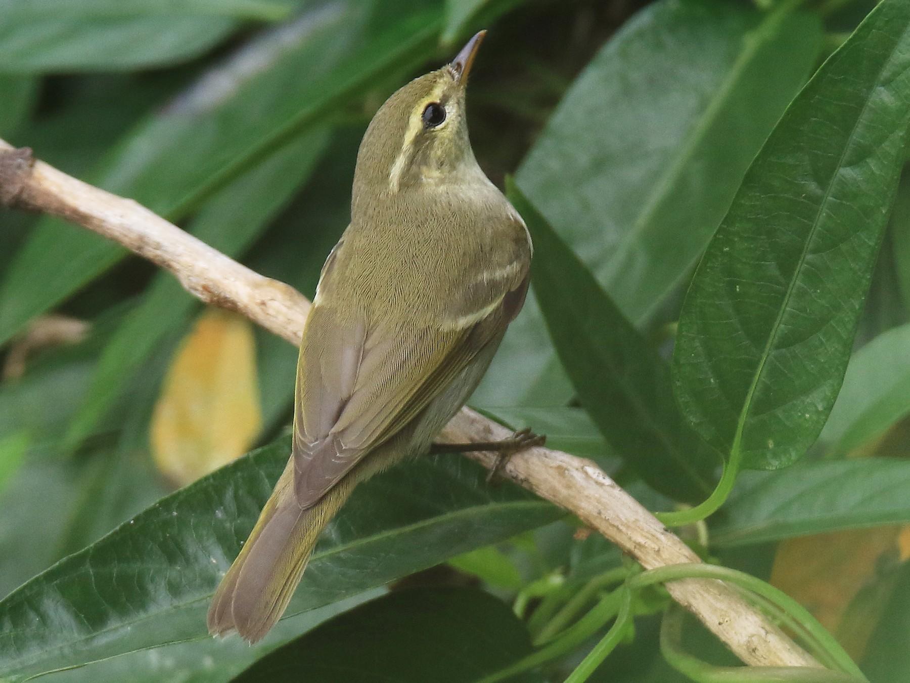 Two-barred Warbler - Allen Lyu