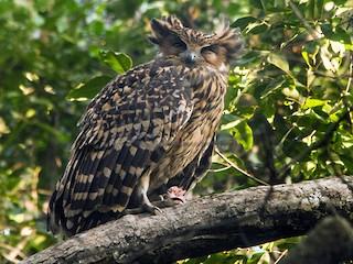- Tawny Fish-Owl