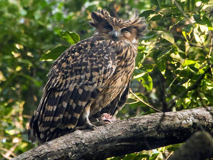 Tawny Fish Owl Ebird