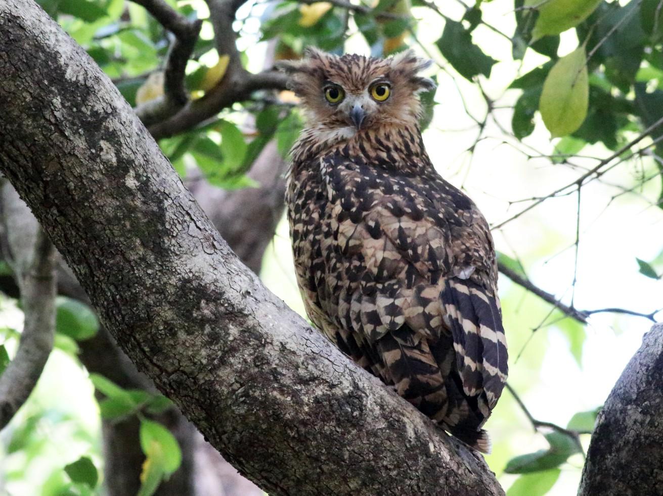 Tawny Fish-Owl - Chinmay Rahane