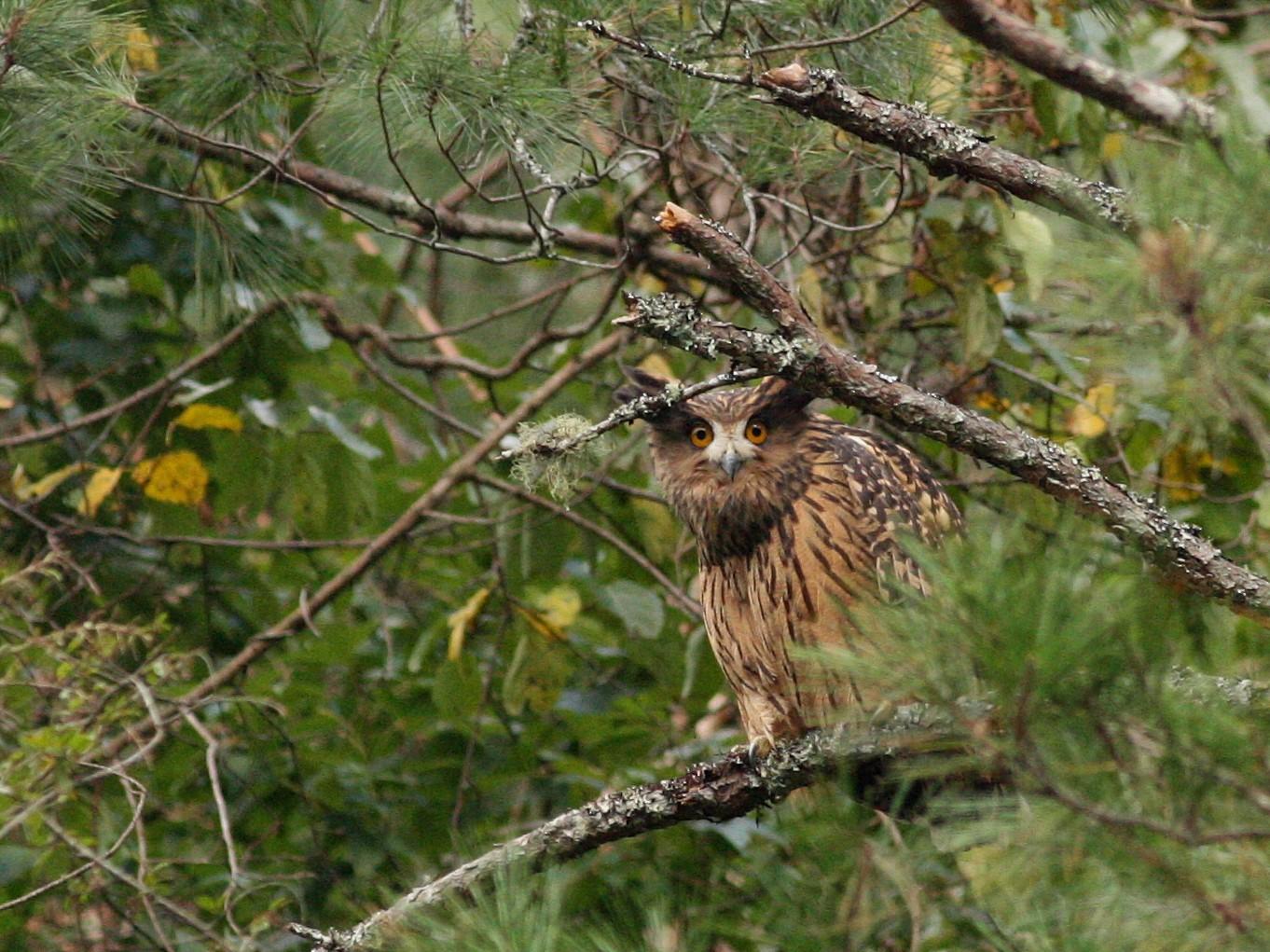 Tawny Fish-Owl - Chien-wei Tseng