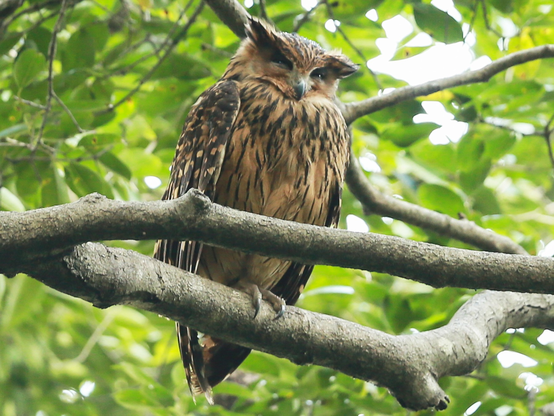 Tawny Fish-Owl - Gaurang Bagda