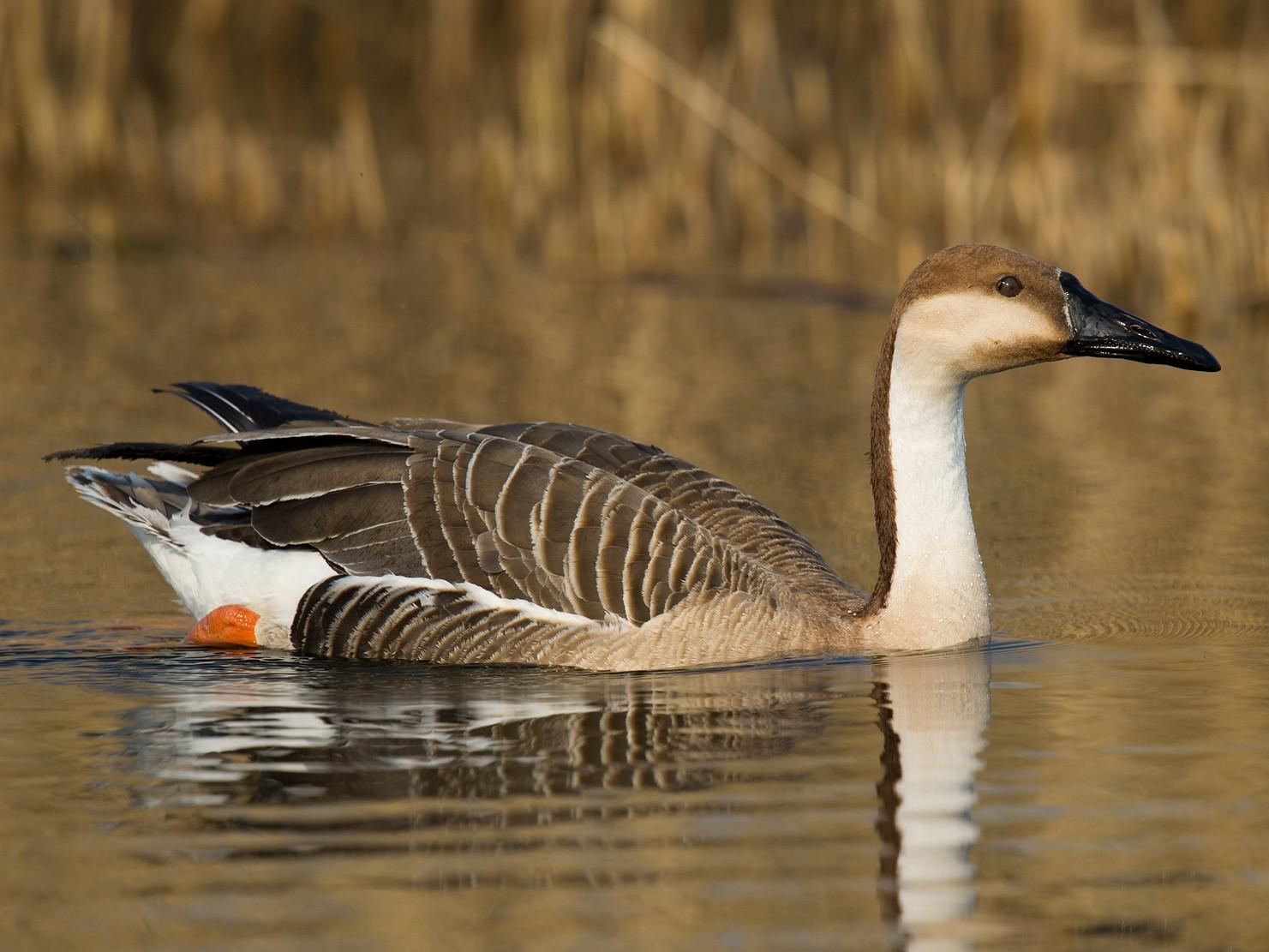 Swan Goose - Craig Brelsford