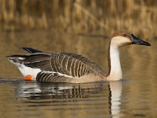 - Swan Goose