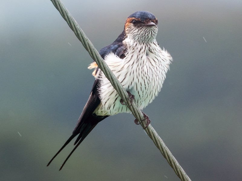 Striated Swallow - Forest Jarvis