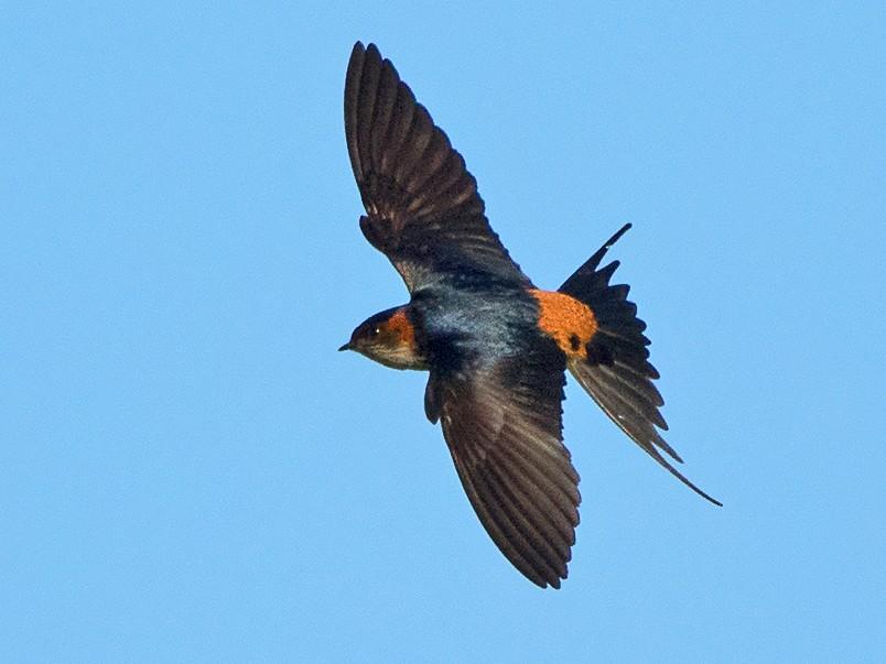 Striated Swallow - Ayuwat Jearwattanakanok