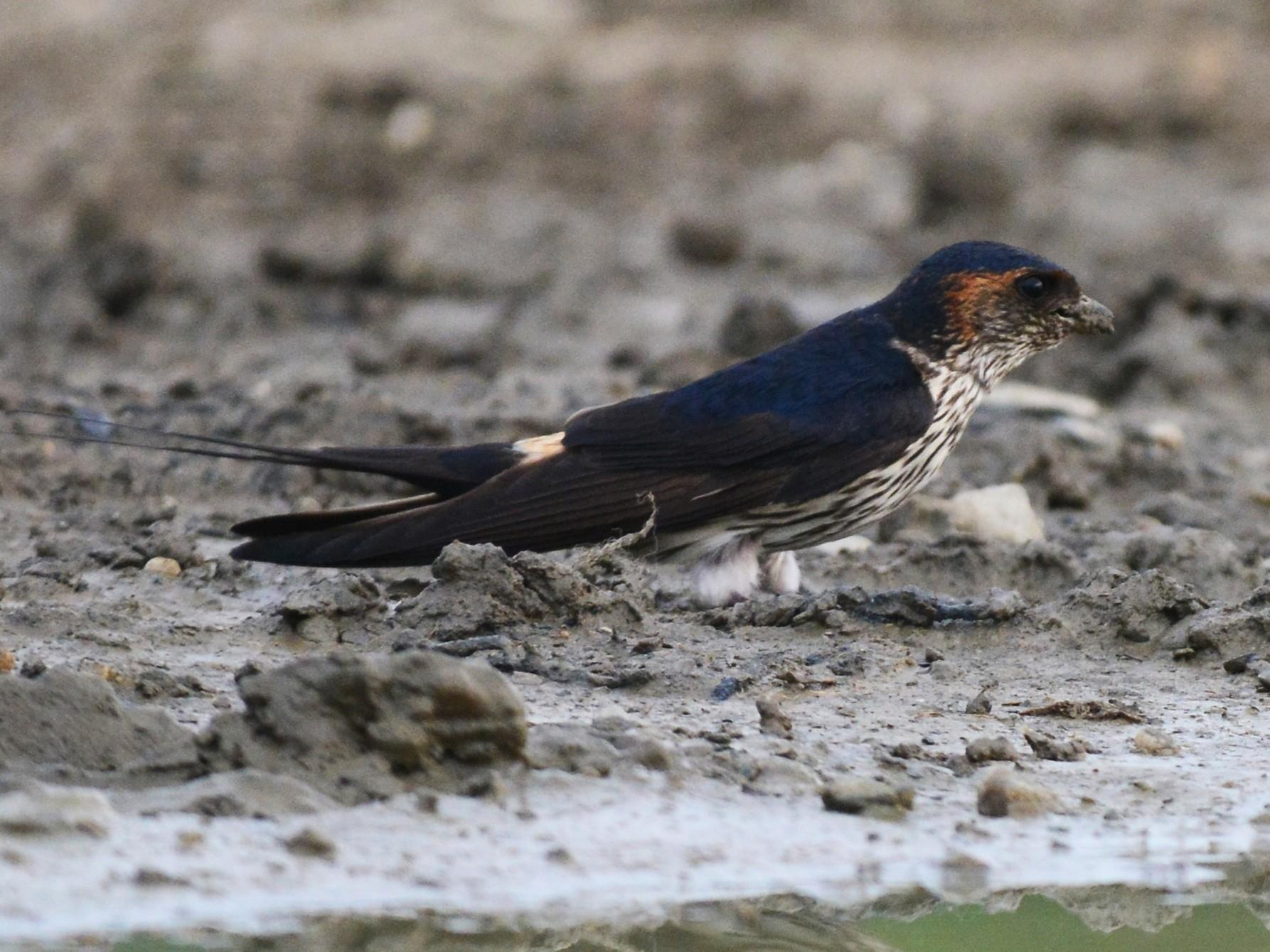 Striated Swallow - Jhih-Wei (志偉) TSAI (蔡)