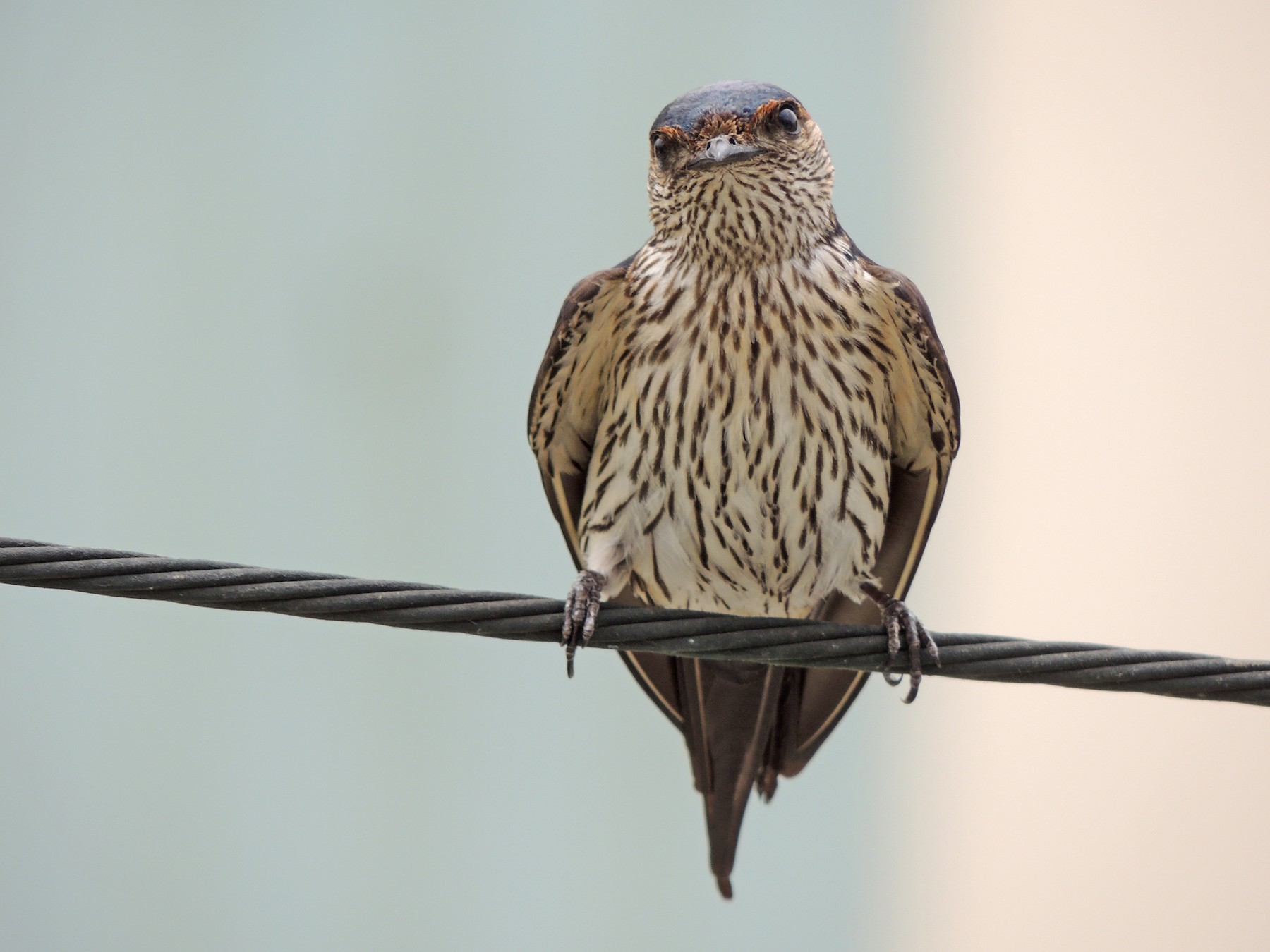 Striated Swallow - Chao-Wei (朝威) Wang (王)