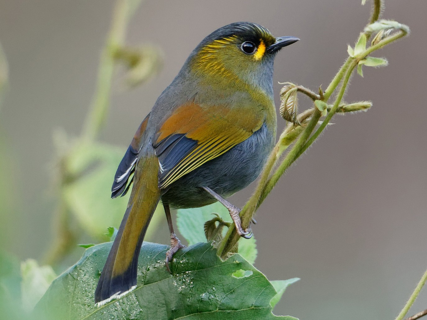 Steere's Liocichla - Arco Huang