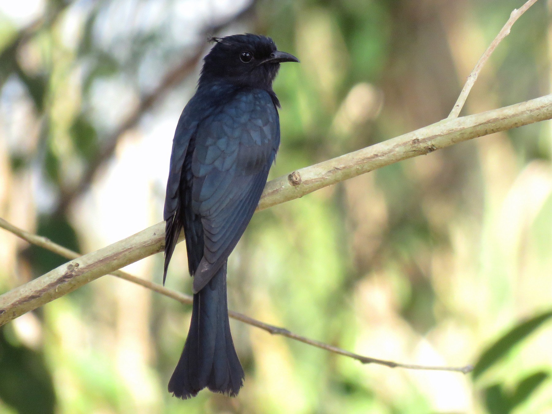 Square-tailed Drongo-Cuckoo - Thibaut RIVIERE