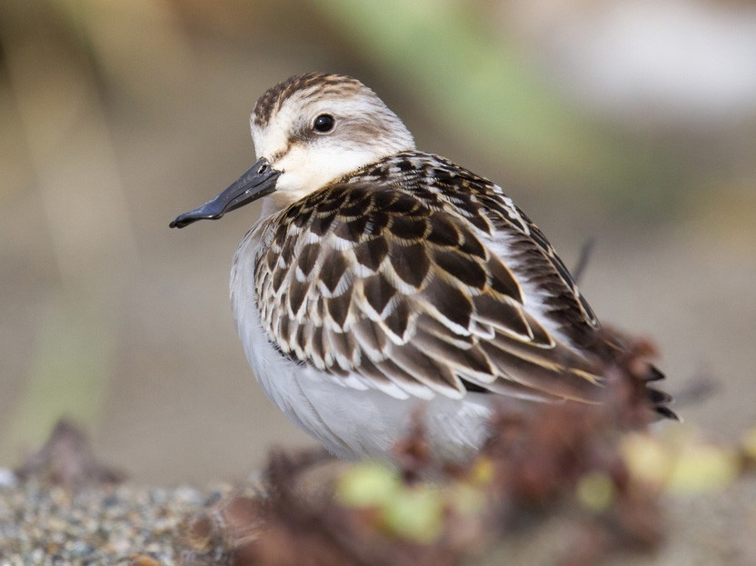 Spoon-billed Sandpiper - Ric Else