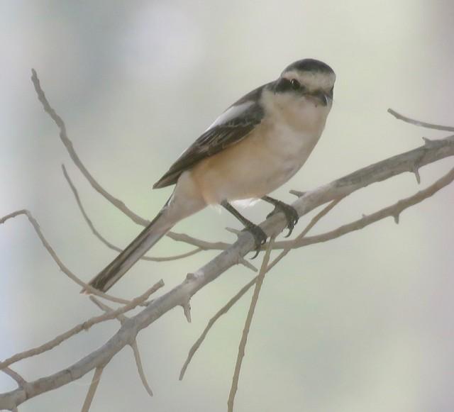 ©Brian James - Masked Shrike