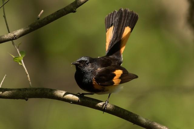 ©August Davidson-Onsgard - American Redstart