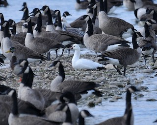 Ross's Goose, ML158232481