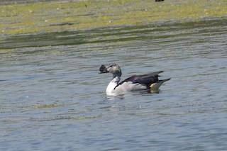 Knob-billed Duck, ML158389911