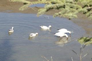 Snow Goose, ML158435041