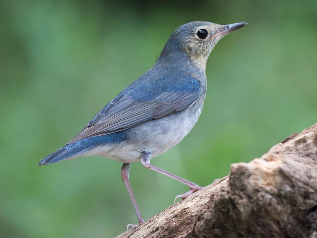 Siberian Blue Robin - Kai Pflug