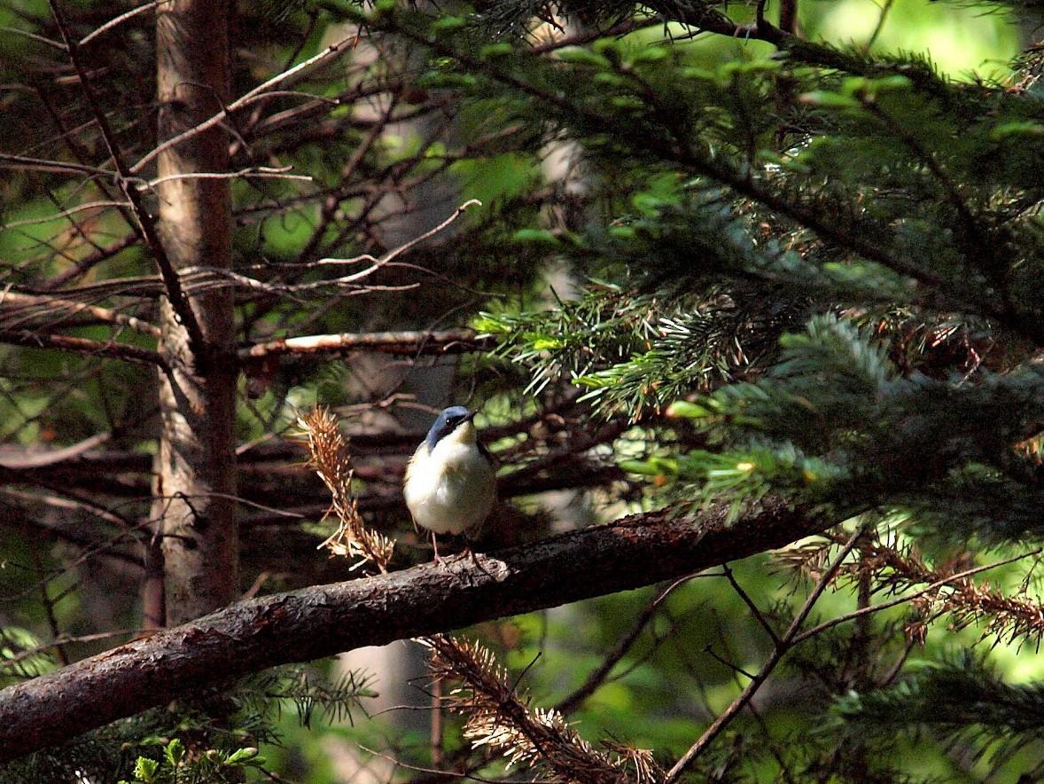 Siberian Blue Robin - Atsushi Shimazaki