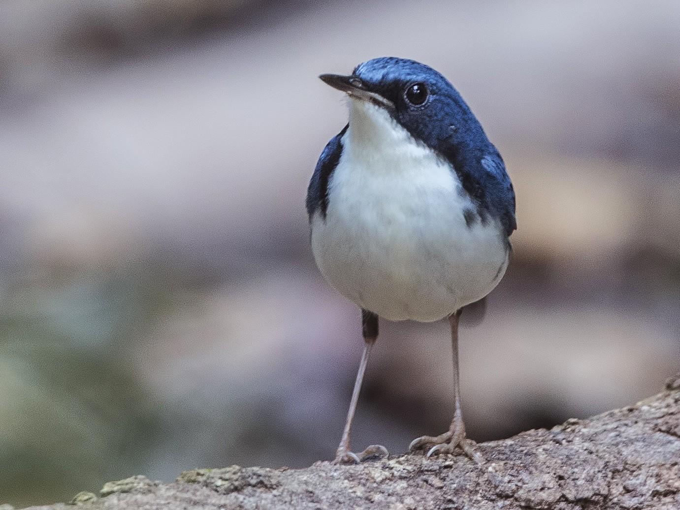 Siberian Blue Robin - H. Çağlar Güngör