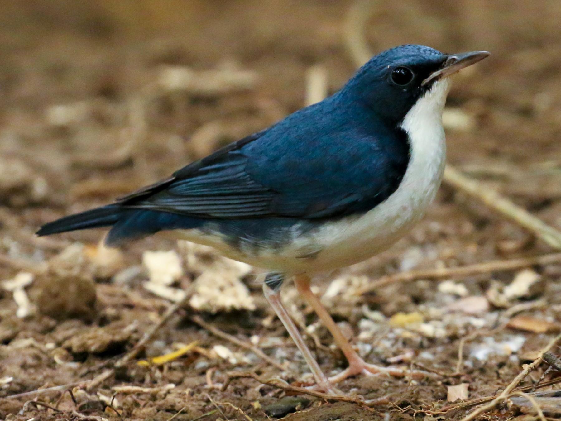 Siberian Blue Robin - Tommy Pedersen