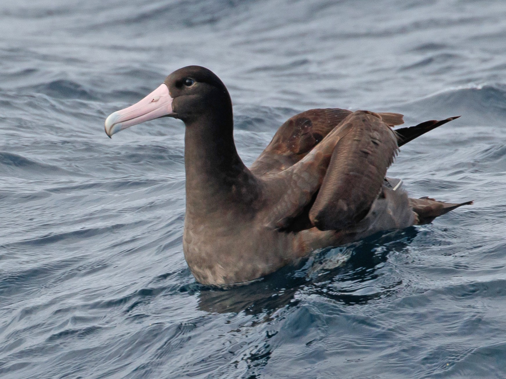 Short-tailed Albatross - Audrey Addison